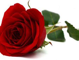 Taggar har rosor